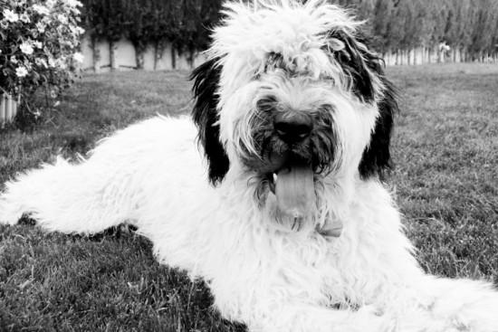 Perro de agua valencia