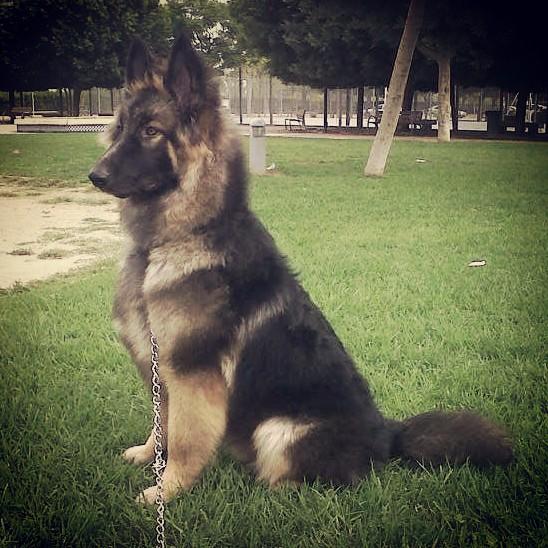 El Principito – Adiestramiento y educación a domicilio en Valencia – Cachorro de Pastor